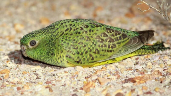 Čtvrtý australský stát hlásí objev papouška nočního: v Jižní Austrálii byl zjištěn po více než 100 letech