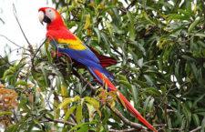 Lidská činnost ohrožuje 38 procent populací papoušků na americkém kontinentu