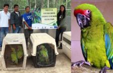 Ekvádor se připravuje na historicky první vypouštění arů zelených do přírody