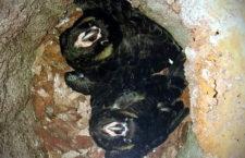 Australan nalákal do budky upevněné u komína kakadu krátkozobé. Hnízdí v ní už pět let