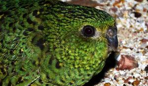 Papoušek noční objeven i na Velké písečné poušti v severozápadní Austrálii