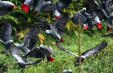 Papoušci žako na napajedle ve svém přirozeném prostředí v Africe (Foto: Wikimedia Commons)