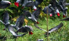 Nekupujte papoušky žako z přírody, nabádá kampaň. Na jednoho přeživšího připadá 20 uhynulých