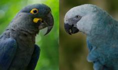 Videostřípky z nového chovu arů škraboškových a kobaltových v singapurském Jurong Bird Parku