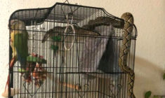 Ochočeného papouška v kleci ohrožoval dvoumetrový had, který vlezl do bytu oknem