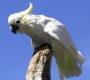 Divocí kakadu v Austrálii sabotují internet, rozžvýkali kabely za 1,4 milionu korun