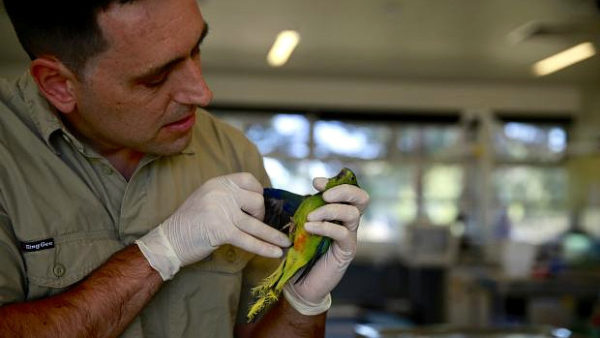 Záchranná mise na Tasmánii: ochránci vypustili do přírody 15 samic neofém oranžovobřichých