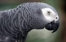 Papoušek žako v testu inteligence předčil čtyřleté děti. Podívejte se, jak