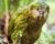 Kakapy soví začaly sledovat drony. Je to levnější a rychlejší než najímat vrtulníky a hledat je osobně