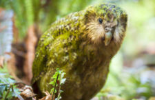 Vzácný kakapo uhynul na šok z přehřátí poté, co mu ochránci vyměnili mikrovysílačku