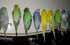 Nejen teflon zabíjí papoušky. Žena usmrtila devět andulek výpary z pečících sáčků