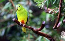 Vědci prověřují ojedinělé pozorování neofémy oranžovobřiché v Jižní Austrálii. Nové hnízdiště?