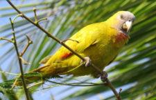 Vzácné pozorování žlutého amazoňana červenokrkého v Dominice