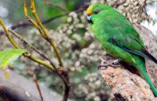Fantastická hnízdí sezóna kakariků horských na Novém Zélandu: ptáků přibylo až o třetinu