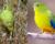 Odvrácená tvář záchranných projektů papoušků zemních západních a neofém oranžovobřichých