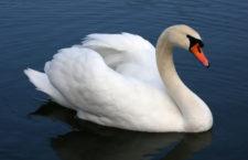 Ptačí chřipka se letos Česku vyhýbá, u divokých ptáků se aktuálně vyskytuje v Británii, Irsku a Německu