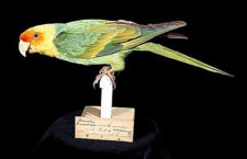 Před 100 lety vyhynul papoušek karolinský. Poslední pták skonal 21. února 1918 v Zoo Cincinnati