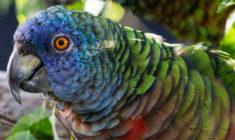 Na ostrovu Svatá Lucie vzniká unikátní záchranné a chovné centrum amazoňanů mnohobarvých