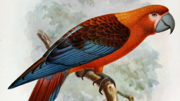 Vyhynulý ara kubánský měl blíže k arovi vojenskému a zelenému, zjistili vědci