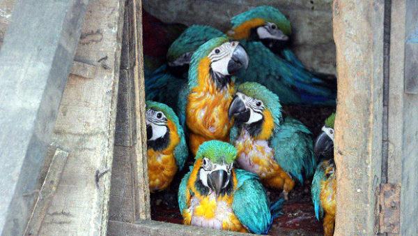 Další dopadený pašerák papoušků v Bolívii: převážel 133 ptáků devíti druhů