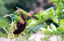 """Americký Phoenix """"okupují"""" agapornisové růžohrdlí. Papoušci zde volně žijí již 30 let"""