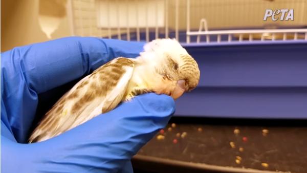 Organizace upozornila na týrání papoušků v síti zverimexů, americká policie zakročila