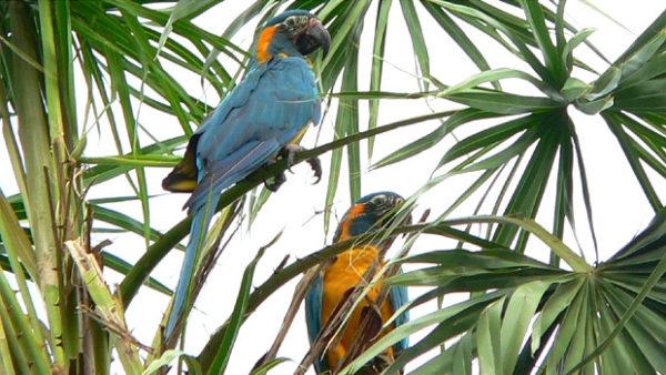 Arům kanindám se v domovské Bolívii daří, jenom v rezervaci Barba Azul jich napočítali 155
