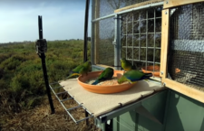 Naučí se neofémy oranžovobřiché ze zajetí migrovat? Ochránci vypustili 15 ptáků na australské pevnině