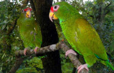 Mexičtí vědci zpochybňují existenci nového druhu amazoňana, jde prý o křížence