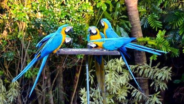 Pytláci neohrožují papoušky pouze v jejich domovině, na Floridě se rozmáhá odchyt araraun