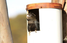 Kakaduové hnědohlaví úspěšně obsazují umělé budky na Klokaním ostrově
