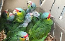 Pašerácký autobus na dálnici do Mexico City převážel 325 papoušků a dva tukany