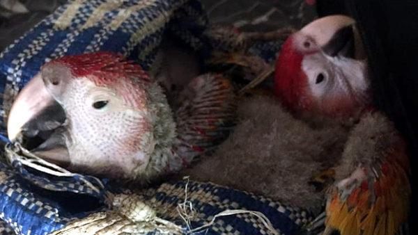 Úřadům v Belize se podařilo vrátit dvě mláďata arů arakang od pytláků zpět do hnízda v pralese