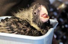 Kálnický seminář pro chovatele papoušků se 16. června zaměří i na chov kakadu havraních