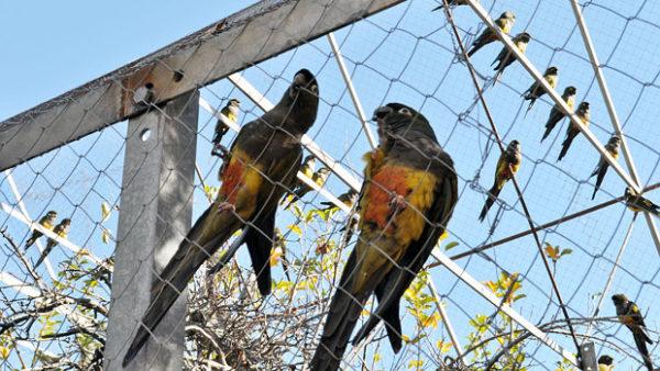 První úspěšný návrat papoušků patagonských do přírody: v Chile vypustili hejno 70 ptáků