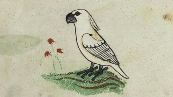 Vědci opět přepisují historii: první australský papoušek kakadu se do Evropy dostal již ve 13. století