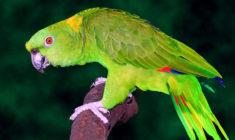 Počty zabavovaných papoušků v Česku klesají, loni inspekce odebrala dva amazoňany žlutokrké