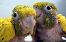 Ostravská zoo hlásí úspěšný odchov dvou aratingů žlutých, celkově jich odchovala již 14