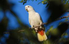 Kriticky ohrožení kakaduové filipínští začali zalétávat do města, ochránci mají pohotovost