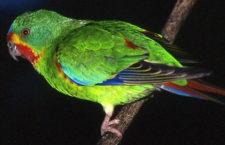 Pomáhat a zabít: tasmánská vláda chrání a zároveň likviduje latamy vlaštovčí