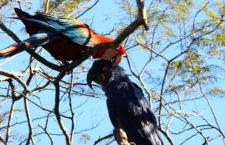 V brazilském Pantanalu objevili pár papoušků složený z ary hyacintového a ary zelenokřídlého