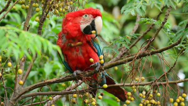 Arové zelenokřídlí se vrací do argentinské přírody. Podařilo se vypustit prvních pět párů