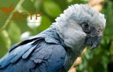 V záchranném programu arů škraboškových je 159 ptáků, z toho 142 v německém ACTP