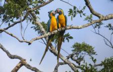Nová rezervace má ochránit loni objevená hnízdiště kriticky ohrožených arů kanind