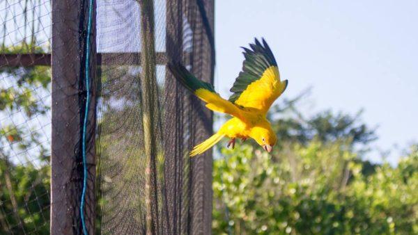 Brazilci vypustili druhou skupinu aratingů žlutých v Belému. První už úspěšně hnízdí