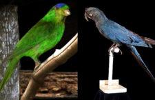 Červená kniha IUCN se chystá prohlásit aru tyrkysového a charmozina modrotemenného za vyhynulé