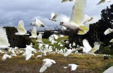 Extrémní sucho v Austrálii nutí kakaduy stěhovat se po hejnech do měst za potravou