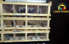 Češi opět vyvezli odchovy papoušků do Loro Parque, po loňské premiéře jde o druhou zásilku