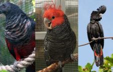 Srdce milovníků kakadu zaplesá: EXOTA Olomouc 2018 ukáže několik vzácných druhů a také trichy orlí