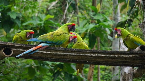 Ekvádor se chystá vypustit do přírody dalších 20 arů zelených. Zvýší tak jejich populaci o třetinu